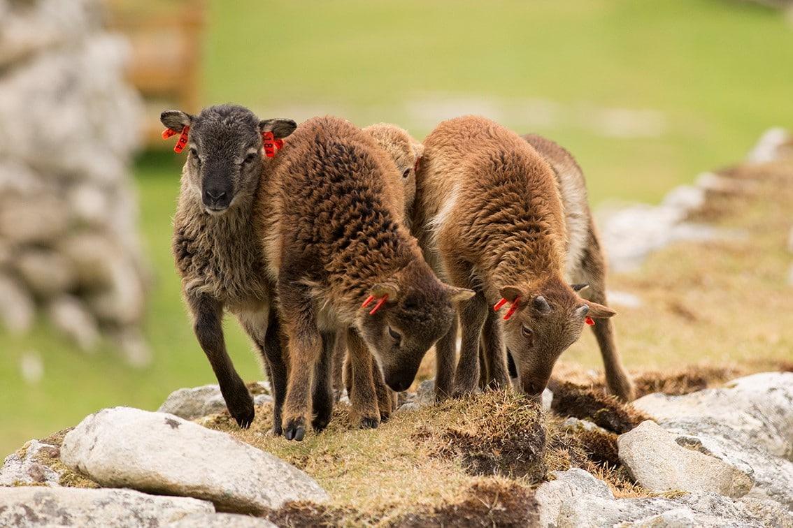 Soay lambs on St Kilda