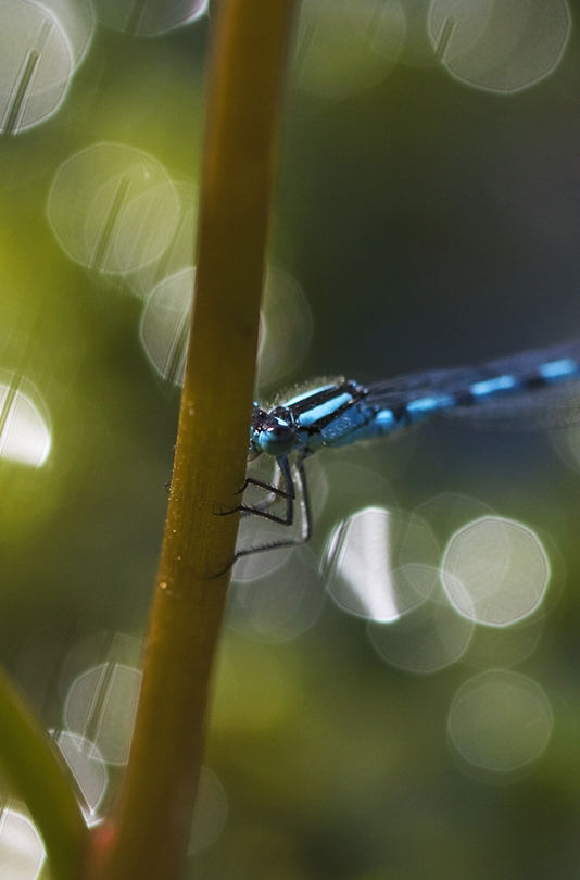Dragon and Damselflies by Alice Starmore