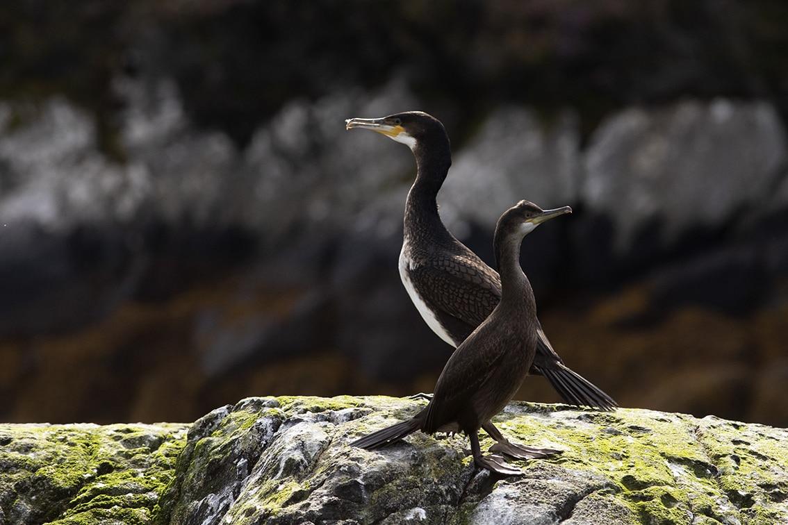 Birdlife on the Isle of Lewis
