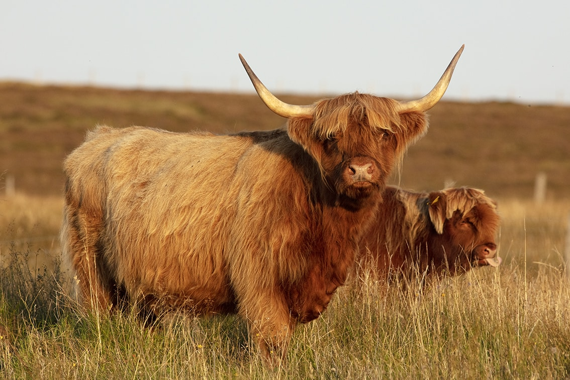 Highland Cows from the Broad Bay Fold in the Isle of Lewis