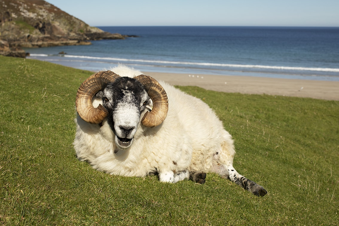 Ram in the Outer Hebrides