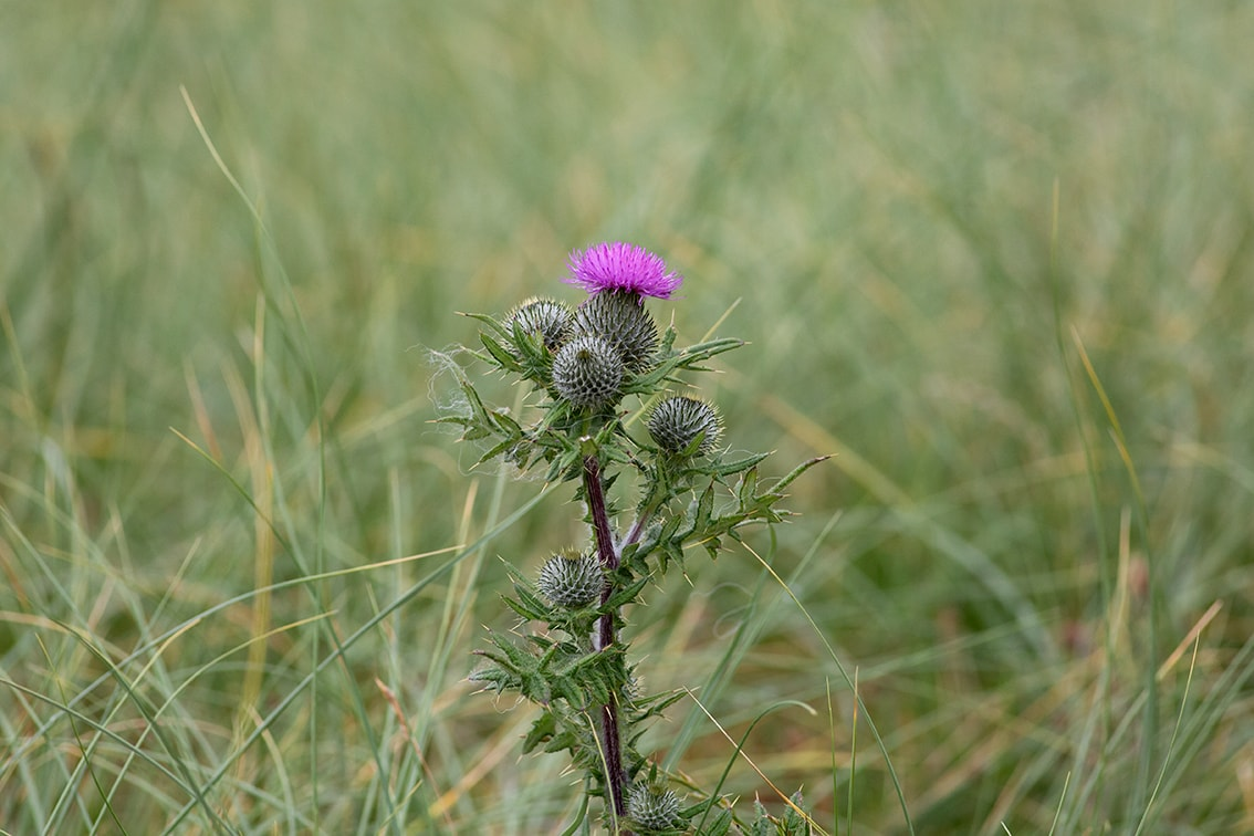 Thistle on Taransay