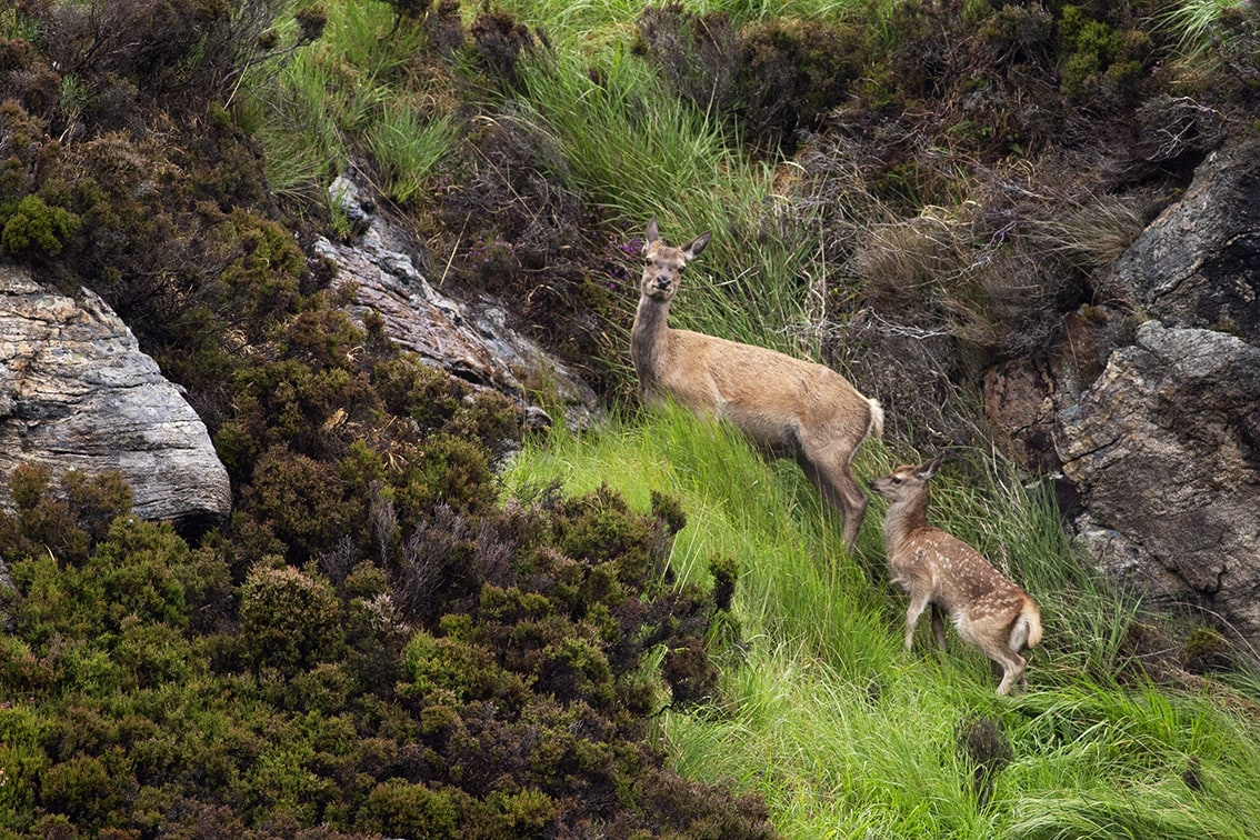 Deer in the Lewis Moorland